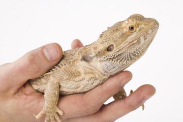 lovely bearded dragon