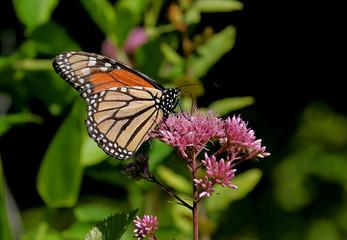 Fotoväggar - Monarch Butterfly on a Flower