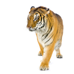 Tiger walking in front of a white background.