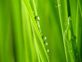 Fotorolgordijn Paardebloemen en water Close-up of fresh green straws with water drops