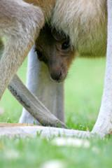 Fototapete - Australian Kangaroos