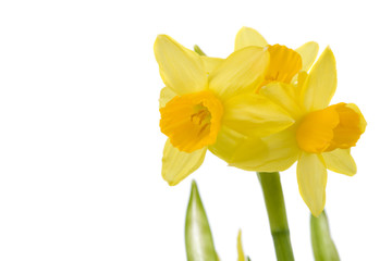 Pretty yellow daffodils on white background isolated