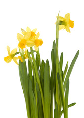 Garden Poster Narcissus Yellow daffodils on white