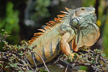 Green iguana at attention during mating season in Mexico.