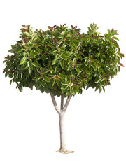 Rubber tree. Producer of latex.