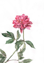 The hand drawn watercolor of a red peony flower