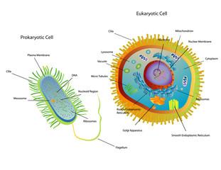 Cross section diagram of Prokaryotic and Eukaryotic cells