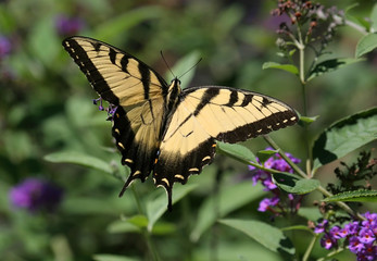 Fotoväggar - Tiger Swallowtail Butterfly (papilio glaucas)