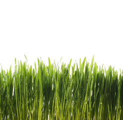 green fresh grass with water drops on white background