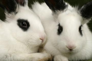 close up portrait of twin cute rabbits