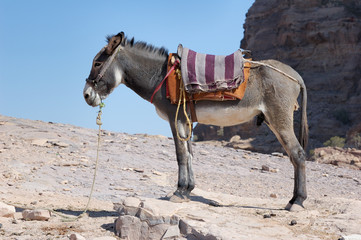 Petra in Jordan - the donkey