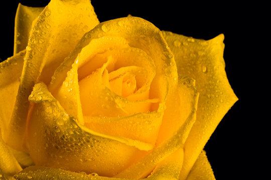 Fresh yellow rosebud isolated on black background