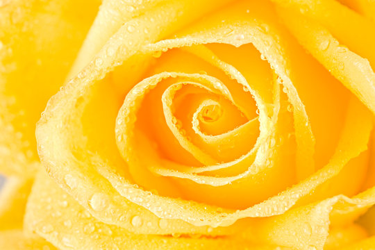 Close up of open yellow rosebud with dew drops on it