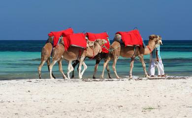 djerbas kamele