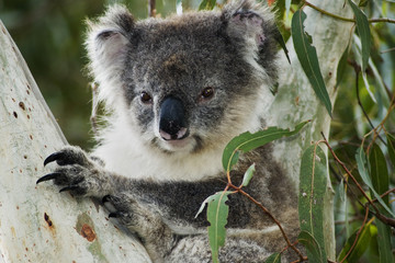 Koala in eucalyptus tree on Kangaroo Island/South Australia