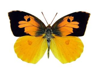 Dogface butterfly.