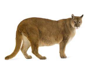 Fotobehang Puma Puma (17 years) - Puma concolor