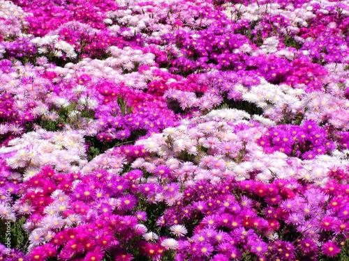 prato di fiori in vivaio 2\
