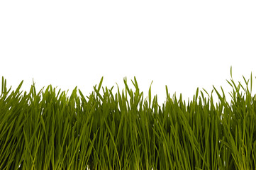 Grass isolated on a white background.