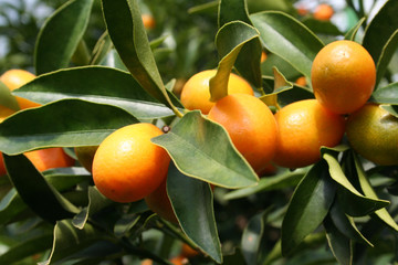 Some ripe Kumquats hanging on a tree.