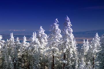 Sandia Mountain Pine Trees in Winter