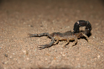 Namibian scorpion