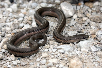 Lined Snake (Tropidoclonion lineatum)