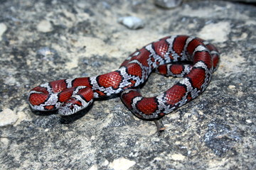 Red Milk Snake (Lampropeltis triangulum syspila)
