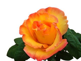 Rose sur fond blanc