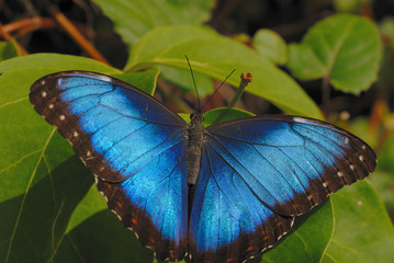 blue morpho on the leaf