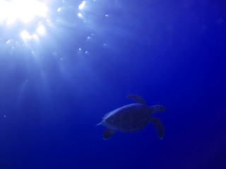 Turtle underwater in deep and sunlight