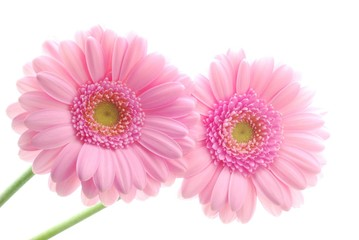 Close-up of two pink gerbera flowers against white background