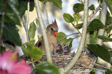 Cardinal Chicks in Nest