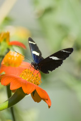 Tiger Swallowtail on orange flower