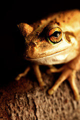 Wall Mural - Western Green Tree Frog