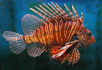 Giant Red LionFish