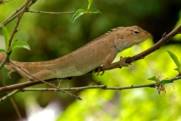 small lizard in the gardens
