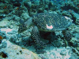 tartaruga stanca