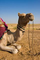 Fotorolgordijn Kameel Camel in Thar desert