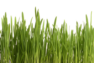 Young juicy green grass on a white background
