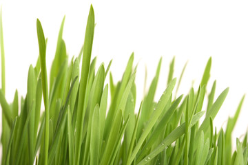 Green young grass with drops of morning dew