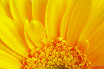 beautiful yellow flower petals closeup