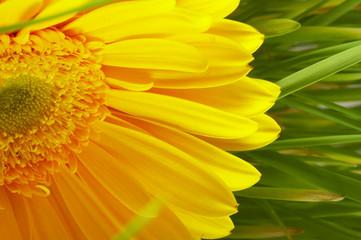 Yellow flower in a grass green.