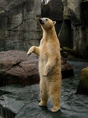 Printed kitchen splashbacks Pole Standing Polar Bear