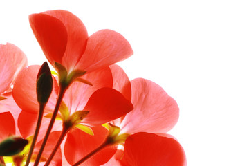 Wall Mural - Red flowers macro close-up isolated on white