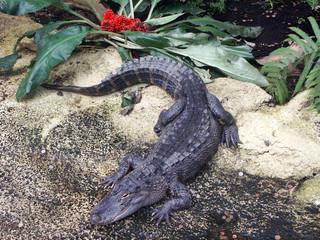 aligator amazonas krokodil afrika