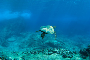 sea turtle swimming away
