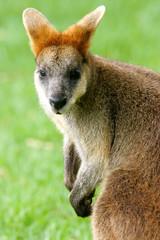 Fototapete - Australian Wallaby