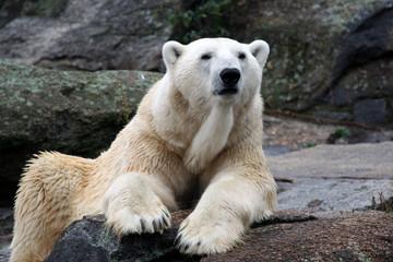 White polar bear portrait