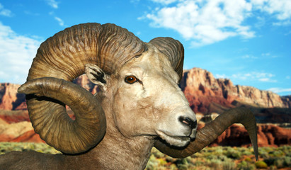 A Bighorn at the Vermilion Cliffs
